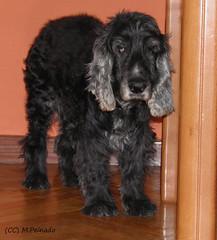 006651 - Cookie (M.Peinado) Tags: dog dogs animal cookie olympus perro perros animales cocker cockerspaniel 2012 cockerspanielingls ccbync olympussp800uz 12082012 agostode2012