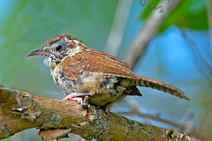 Carolina Wren (Brian E Kushner) Tags: phil