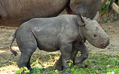zwate neushoorn Akili geboren 6-8-2012 berlin zoo IMG_1944 (j.a.kok) Tags: rhino blackrhino neushoorn zwarteneushoorn puntlipneushoorn