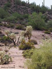Cholla in the Sonoran Desert (Shotz by TCreates) Tags: arizona cactus usa southwest west green nature america unitedstates olympus sonorandesert 2012 cholla apachetrail