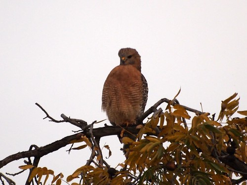 """Red-shouldered Hawk • <a style=""""font-size:0.8em;"""" href=""""http://www.flickr.com/photos/59465790@N04/8156894672/"""" target=""""_blank"""">View on Flickr</a>"""