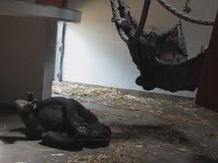 Mahali and Kipenzi (myopixia) Tags: gorilla taronga tarongazoo kibabu mahali westernlowlandsgorilla myopixia kipenzi