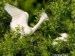 From April / Snowy Egret Male Bringing Nesting Material To Female On The Nest (Image Hunter 1) Tags: trees tree nature leaves birds leaf wings louisiana branch nest bokeh branches beak feathers bayou breeding swamp twig stick material marsh wingspan snowyegret nesting nestbuilding plumage wingspread canoneos7d birdslouisiana