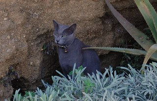 Top Cat. (Russian Blue or Archangel Blue)