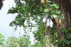 hanging vines (heartinhawaii) Tags: tree nature hawaii vines foliage bigisland hilo monstera rainbowfalls hawaiiisland nikond3100 longvines bigislandinfebruary hawaiiinfebruary
