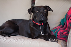 rachel (jypsygen) Tags: rescue dog pet black dallas mix rachel coat smooth hound canine pitbull couch terrier dfw adopt staffordshire adoption petrescue plotthound dfwsfurgottenfriends