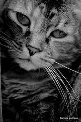 Kimmy <3 (Hachiko_cats) Tags: pet cats pets cute animal animals cat monocromo nikon feline gatos gato felino animales neko gatto gatti gatito monocolor feliscatus nikonlens catslife