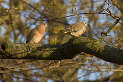 IMG_6362.jpg (Scott Alan McClurg) Tags: life sunset wild tree bird animal forest spread evening spring wings woods backyard post dove wildlife feathers neighborhood perch mourningdove smallbirds songbird thicket