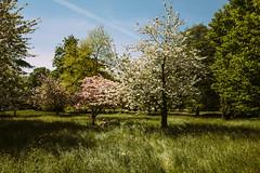 Idyll (sixbysixtasy) Tags: nature spring delight cherryblossom delirium hamptoncourt hayfever leicaq vsco
