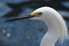Snowy Egret - Egretta thula (Mel's Looking Glass) Tags: snowy egret egretta thula