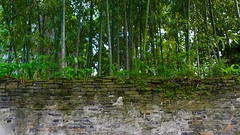 (Arnaud999) Tags: china asia bamboo asie wuzhen watertown bambou chine zhejiang
