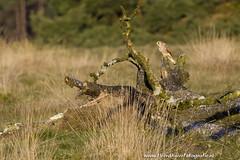 _TKF5711 (Tjeerdknierfotografie) Tags: landscape landschap hogeveluwe torenvalk roofvogels nphogeveluwe npdhv