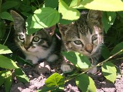 Mikesch & Lucy (towytopper) Tags: baby sommer katze grn garten tier busch ktzchen tierbaby