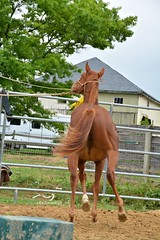 30 (CrevanNight) Tags: spring horse horses farm farms country equine train training thoroughbred thoroughbreds yearling yearlings cute pretty couple sweet equines new experience life lover stubborn young amish lancaster pennsylvania pa