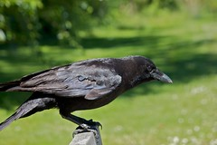 Next To Me On The Bench (Stirrett6) Tags: bird crow corvid perching