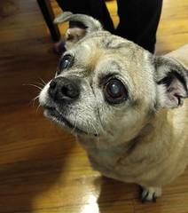 I want some birthday cake, too. (mycat42) Tags: dog chihuahua bigeyes pug chug feedme ilikecake beggingdog