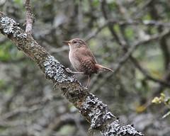 Where's the sunshine ? (Grumpys Gallery) Tags: nature birds wildlife wren