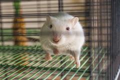 DSC_0300 (edmundrt) Tags: cute gerbil rodent nikon nikkor ccd dx d40 nikond40 afsnikkor