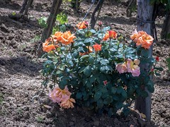 CRW_7524-1 (03TTAM) Tags: fiori toscana viafrancigena