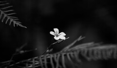 You are not alone (Yoli in Wonderland) Tags: naturaleza detalle flower detail nature fleur monochrome dark small flor bn