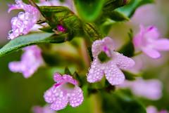Moist with dew - thyme blossoms (Kat-i) Tags: pink macro outside bayern deutschland dewdrops blossoms rosa kati makro thyme morningdew potherb tautropfen katharina blten morgentau 2016 kchenkraut gewrzpflanze nikon1v1 thymiian