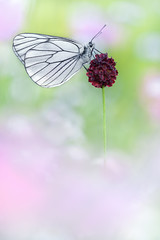 Baumweiling (Aporia crataegi) (MichaSauer) Tags: lepidoptera makro f5 blackveinedwhite schmetterling 150mm iso500 aporia tagfalter gaz grootgeaderdwitje weisling baumweisling