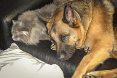 Greta & Merlin (cupra1) Tags: dog pets cat feline shepherd merlin germanshepherd pussycat greta gsd germanshepherddog
