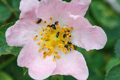 Dog Rose with beetles (Paul Braham Photography) Tags: macro animal animals closeup insect fly insects flies creatures