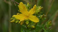 Die Blten des Johanniskraut (Hypericum perforatum) bilden ein Windrad. (ursula.kluck) Tags: natur windrad johanniskraut hypericumperforatum wildpflanze johannistag 24juni gelbeblte