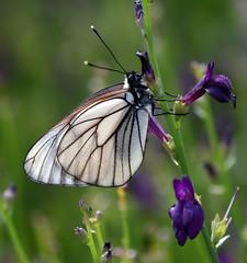 Black-veined White (geoffcarr300) Tags: white desert kazakhstan aporia crataegi blackveined