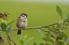 Tree Sparrow (Master Pedda Thanks for more than 500 000 views.) Tags: birds sweden treesparrow passermontanus halland pilfink mygearandme ringexcellence