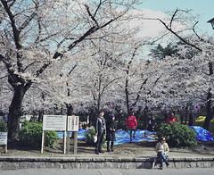 spring days (yymkw) Tags: park 120 mamiya film japan mediumformat cherry spring blossom nagoya  fujifilm 6x7 f4 67   80mm pro400h   mamiya7