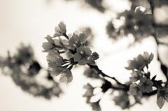 IMGP6911-2 (Amad) Tags: flower japan spring   sakura kiryu
