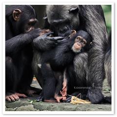 Singapore Zoo - Chimpanzee (TOONMAN_blchin) Tags: chimpanzee singaporezoo toonman mygearandme mygearandmepremium mygearandmebronze mygearandmesilver mygearandmegold dblringexcellence tplringexcellence eltringexcellence