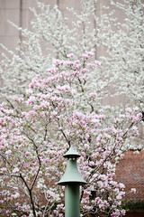 siren (dalioPhoto) Tags: nyc pink white newyork flower tree vertical digital spring nikon manhattan siren alert daliophoto marcdalioall