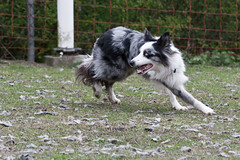 Skip (Bas Bloemsaat) Tags: dog collie border bordercollie