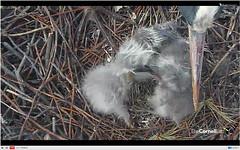 got yer beak (bulldog008) Tags: blue heron webcam university nest great chicks cornell feed ornithology birdcam nestcam