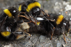 Bumble bee bundle #2 3 bees (Lord V) Tags: macro bug insect bee bumblebee mating