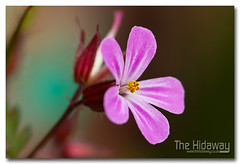 Little pink flower (Simon Bone Photography) Tags: pink plant flower detail macro nature closeup magnified sigma105mm wwwthehidawaycouk canoneos7d