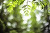 Hello from Above (moaan) Tags: life light greenleaves sunlight green digital 50mm woods dof bokeh fresh utata metasequoia 2012 f12 beckoning refresh afresh inlife ef50mmf12lusm 神戸市立森林植物園 canoneos5dmarkiii kobemunicipalarboretum