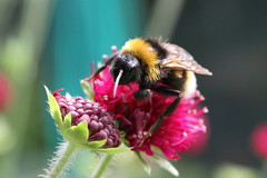 Bumblebee, Garden, Warwickshire (Andy_Hartley) Tags: fbdg