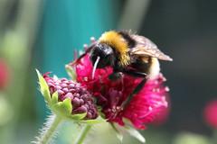 Bumblebee, Garden, Warwickshire (Andy_Hartley) Tags: fbdg