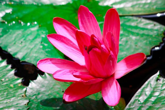 Lotus, Periyar Tiger Reserve, Thekkady