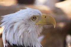 American Bald Eagle close-up.jpg (Karon Elliott Edleson) Tags: bear lake zoo big eagle bald moonridge elementsorganizer