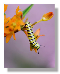 Butterfly Catnip (vidterry) Tags: 8x10 caterpillar monarchcaterpillar ruleofthirds butterflyweed iso1000 ev23 tamron180mmmacro nikond7000 flickrstruereflection1 flickrstruereflection2 11000thf8