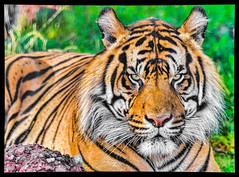 Intensity Personified (Tom Traylor) Tags: nature zoo nikon wildlife tiger bigcat predator d800 nikon300mmf4 nikond800 flickrbigcats flickbigcats