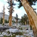 Foxtail Pine - Photo (c) randomtruth, some rights reserved (CC BY-NC-SA)