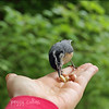 Nutty selects the finest peanut (Peggy Collins) Tags: canada hand britishcolumbia pacificnorthwest nuthatch tame sunshinecoast gettyimages birdinhand birdeating redbreastednuthatch tamebird abirdinthehandisworthtwointhebush peggycollins