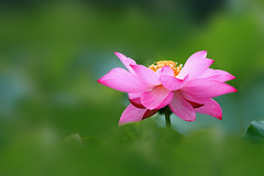 IMG_Q9946 (HL's Photo) Tags: plant flower nature lily lotus    macroflower wonderfulworldofflowers
