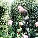 Secret rose garden, Cupid